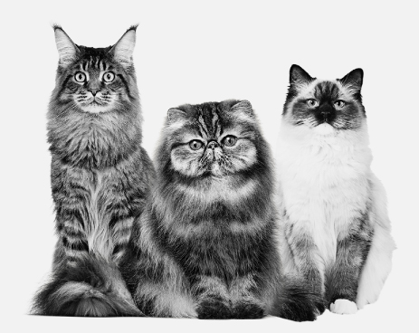 Royal-Canin-Cat-Breeds.jpg